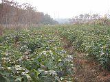江西枫香主产地供应枫香小苗 2公分枫香
