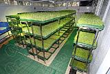 菜立方芽苗菜工坊:种芽苗菜我们是靠技术优势得天下