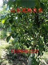 求购核桃树|核桃树什么品种好|早实核桃树品种