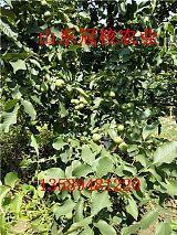 重庆核桃苗适合山地栽植的核桃苗冠核核桃苗抗旱耐贫瘠