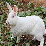 供甘肃兔肉和兰州肉兔场