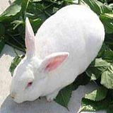 供甘肃白银獭兔和定西法系獭兔批发
