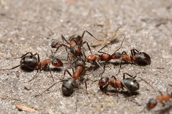 常州鎮江丹陽酒店滅螞蟻解決方案 家裏有螞蟻怎麼辦 如何消滅螞蟻