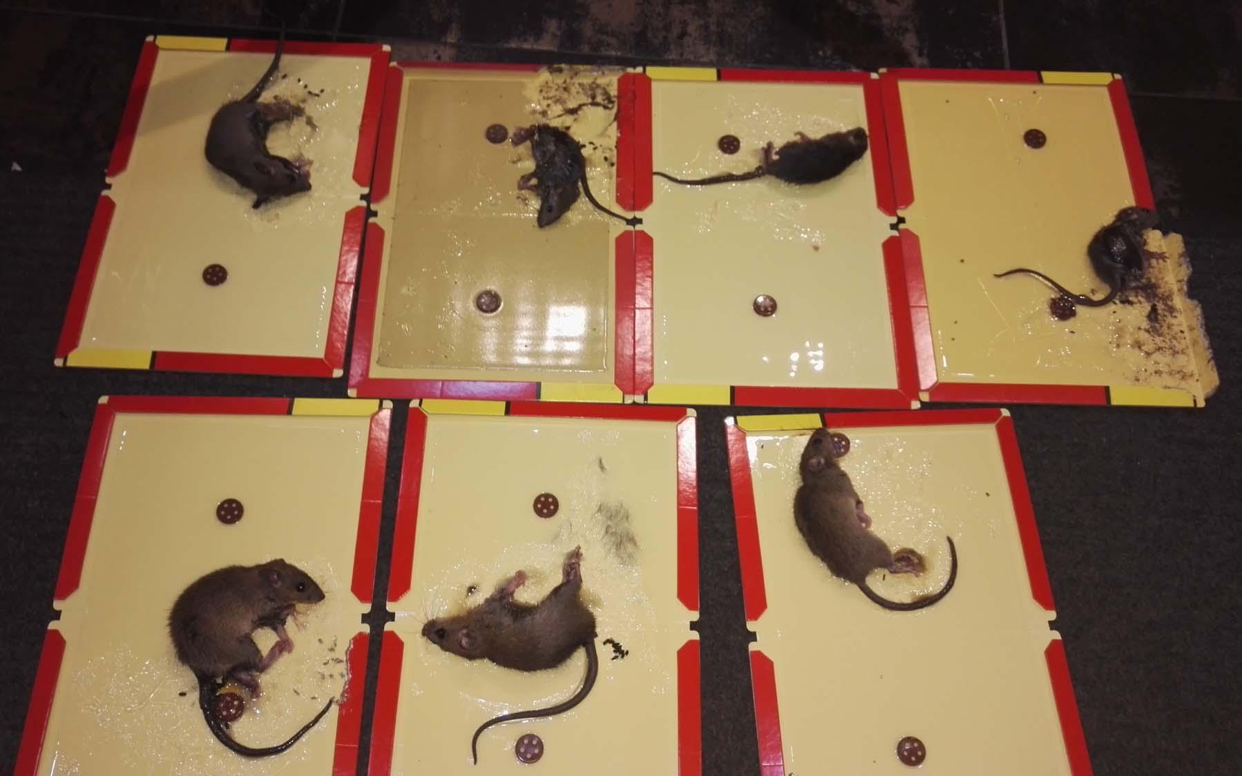 殺蟲公司的捕鼠方法 科學滅鼠 老鼠聰明狡猾 丹陽清源滅鼠公司