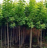 山東區青州金葉複葉槭苗木供應基地;