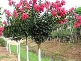 山东青州万绿紫薇苗木供应基地,紫薇苗木报价