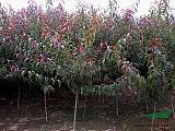 山東青州紅葉碧桃苗木供應基地報價