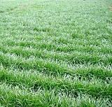 多年生黑麦草种子 黑麦草种苗