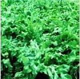 进口优质鲁梅克斯牧草种子 苦荬菜种子
