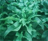 高蛋白俄罗斯饲料菜种根 种子 养心菜种子