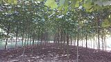 山东法国梧桐种植批发基地