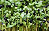 芽苗菜项目发展的黄金十年 抓住商机