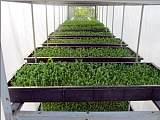 益康园芽苗菜加盟 室内无土栽培 全程富氧水培植