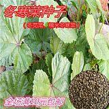 冬寒菜种子 也可凉拌 蔬菜种子 冬苋菜种子 阳台种菜马蹄菜