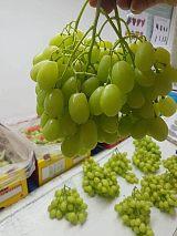 進口水果南非無籽青提批發一手貨源供應電商水果連瑣超市餐飲5箱起批