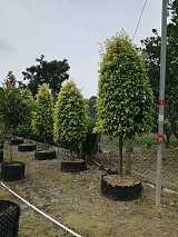 景观绿化苗木;