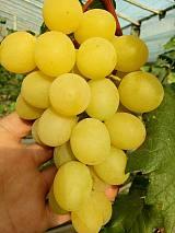 寿光金秋温室玫瑰葡萄