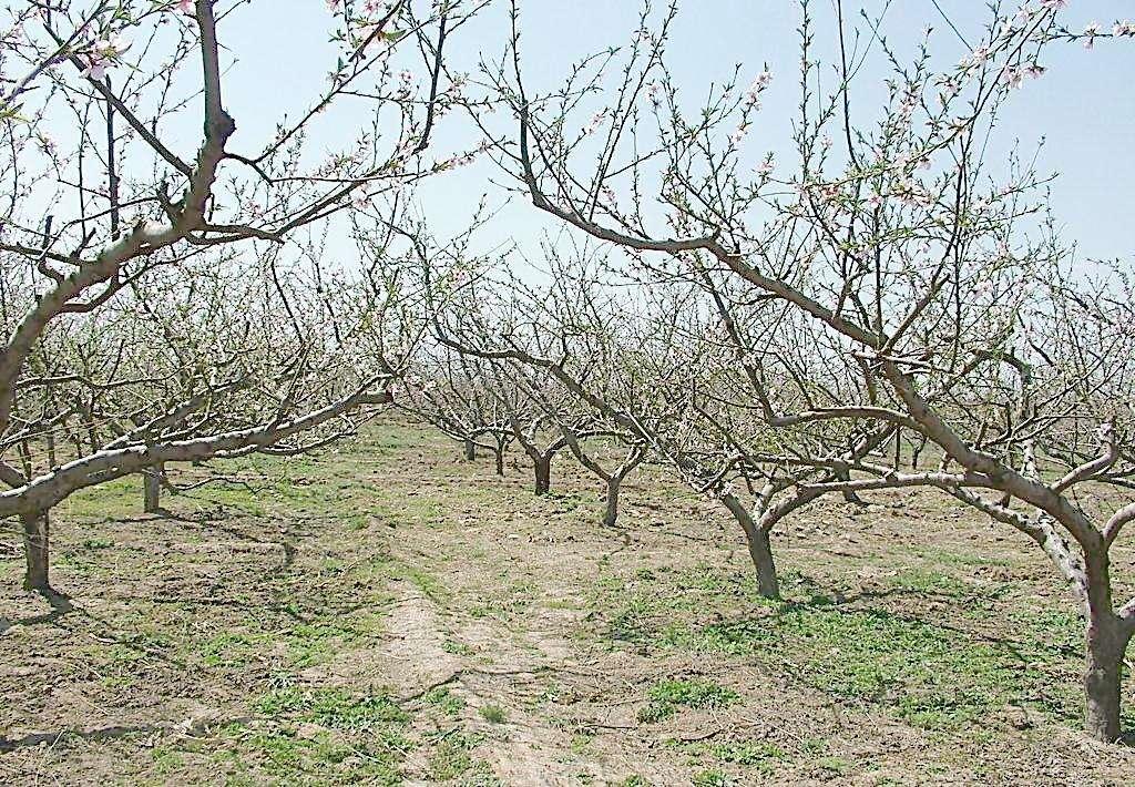 河北保定哪里有桃树 苹果树 杏树 核桃树 山楂树 梨树 价格合理 包上车