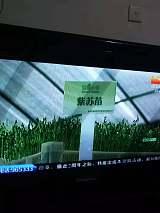 豆蔻知青无土栽培技术,量化生产花生芽、豌豆苗等水培芽苗菜
