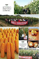 【粮饲兼用,玉米种子】铁研53牛羊最好的青饲料;