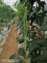 长沙县胖仔农庄有机蔬菜——长豆角