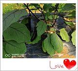 长沙县胖仔农庄有机蔬菜——茄子