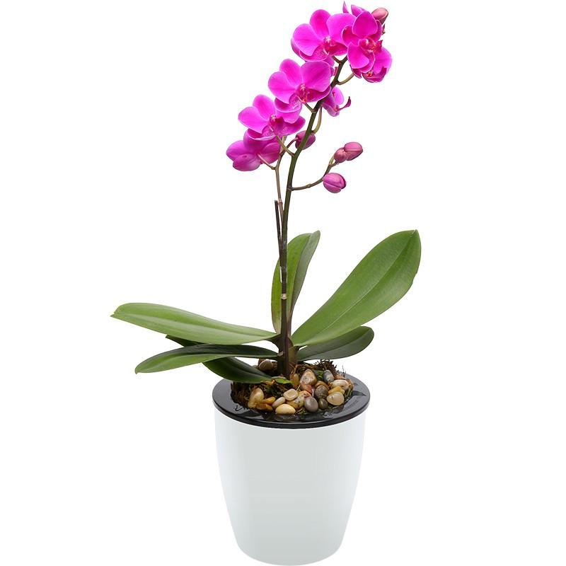 武汉花卉黄金万两火棘朱砂根红凉伞盆栽,年宵花送礼植物盆栽