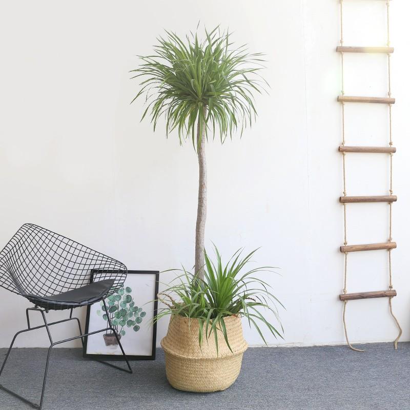 武漢公司花木租售園藝出租,武漢單位盆景出租租植物花卉