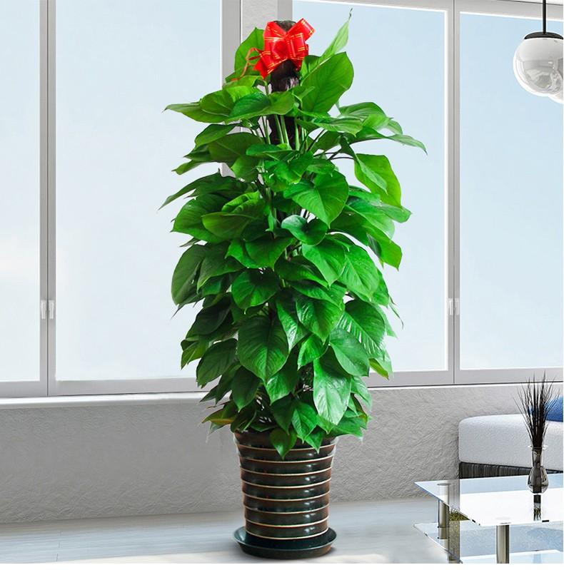 武漢公司花卉價格家庭綠植租擺,武漢盆栽植物租賃花卉租擺報價