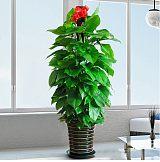 武漢公司綠植家庭盆景租花卉,武漢綠化養護花卉租賃室內園藝
