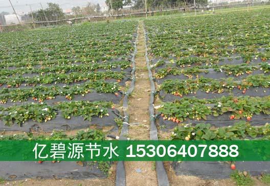 长治膜下草莓滴灌技术铺设方法