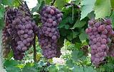 东莞葡萄特伦生水果批发市场