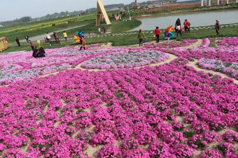 青州市鼎诺花卉矮牵牛马鞭草