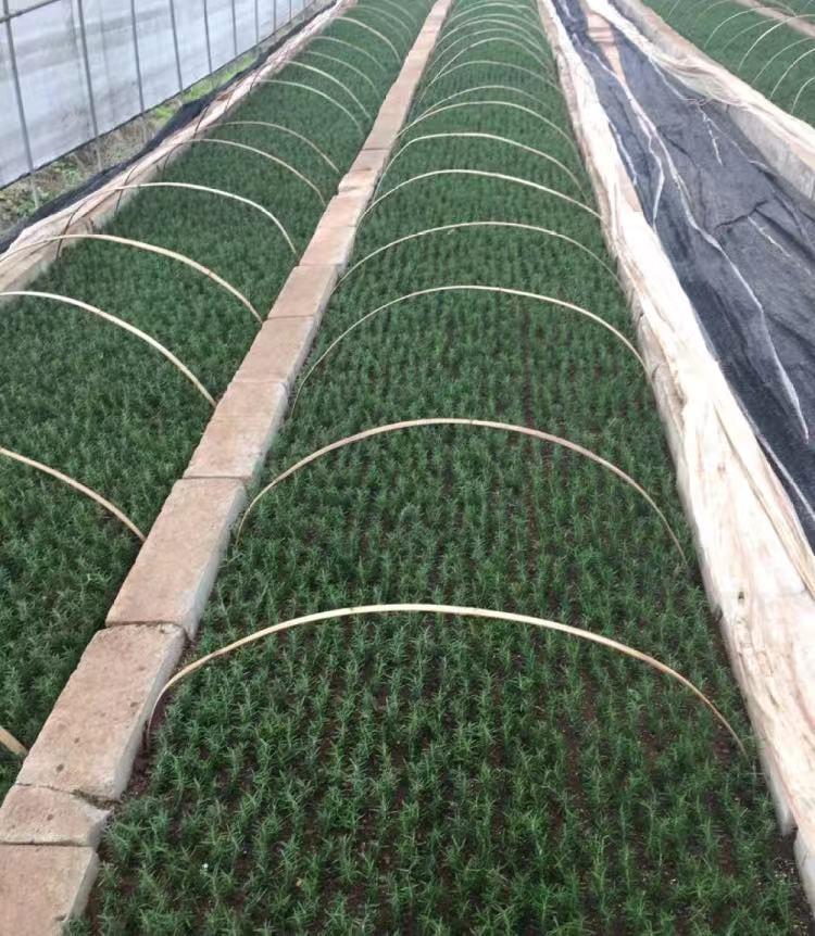 湖南迷迭香种植迷迭香种苗培育迷迭香优质种苗供应包种植技术指导