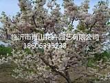 白色雙櫻花、北京西府海棠