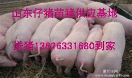 山东仔猪最新供应价格13626331680
