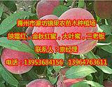 青州金秋红蜜桃苗