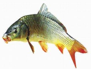 顺谷养殖鲜活水产品鱼类 专供天津地区鱼苗报价