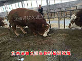 肉牛核心饲料配方 肉牛核心饲料配制技术;
