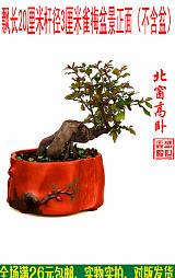 北窗高卧雀梅盆景;