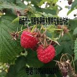 供应优质红树莓苗 双季树莓苗 尚志红树莓苗 哈尔滨树莓苗