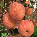 【正苹优果】陕西洛川苹果80# 红富士苹果 批发量大更加优惠