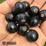 黑加仑苗批发 黑加仑苗多少钱一棵 黑豆苗