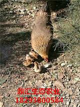天水市、秦安县纯正土鸡(蛋)—天水鼎汇生态农业;