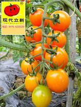 供应美丽又好吃的高级黄色圣女果种子,很甜很美,广西现代立新厂家价格;