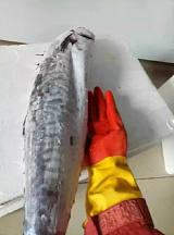 廣州水產海鮮批發配送;廣州黃沙海產干貨批發;廣州墨魚魷魚批發;