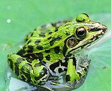 供應全國青蛙、黑斑蛙、金線蛙、虎紋蛙、牛蛙優質種苗