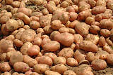 兰州心农园新土豆蔬菜配送;
