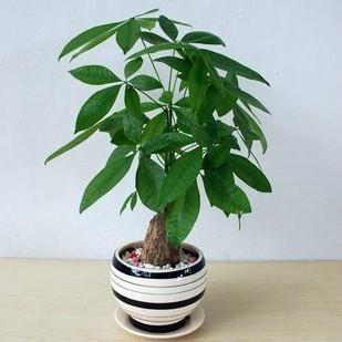 武汉长寿花重瓣花卉成品盆栽带花苞客厅办公室内植物净化空气