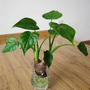 武汉吸甲醛防辐射的植物虎皮兰盆栽,武汉绿植虎尾兰同城送货